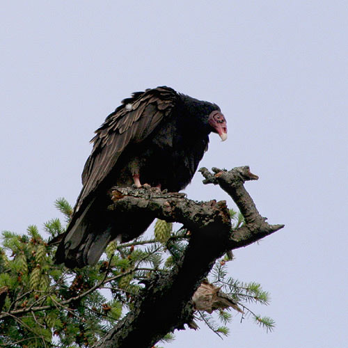 Turkey-vulture-2a