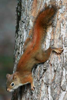 Red-squirrel---IMG_0218_275w